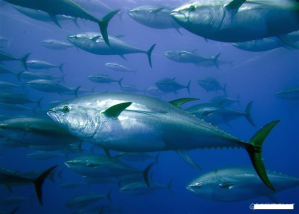 tuna school searching for food