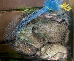 a bag of frogs, awaiting patiently their fate
